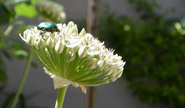 Le psychiatre suisse Cral Gustav Jung a élaboré sa théorie sur les synchronicités après avoir vécu une coïncidence signifiante impliquant un scarabée doré et une de ses patientes qu'il suivait en travail d'analyse. intuition