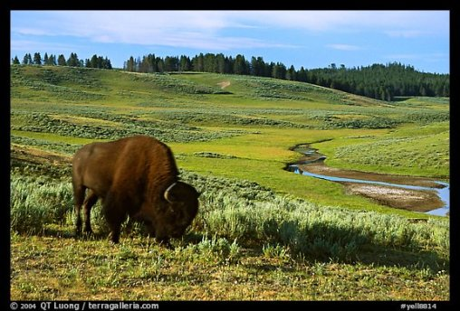 6 sens animaux, intuition, bisons yellowstone, tremblement terre